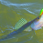 Ловля судака на Ладоге, троллинг судака на Ладожском озере