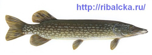 Рыбалка на щуку рыбалка весной на