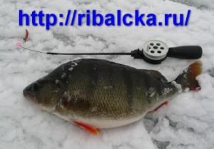 Ловля крупного окуня зимой, как поймать окуня зимой