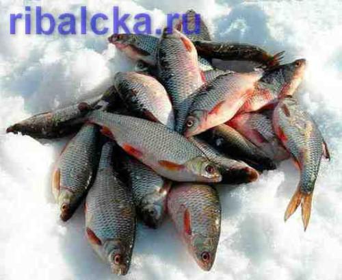 Ловля плотвы зимой на мормышку, зимняя ловля плотвы