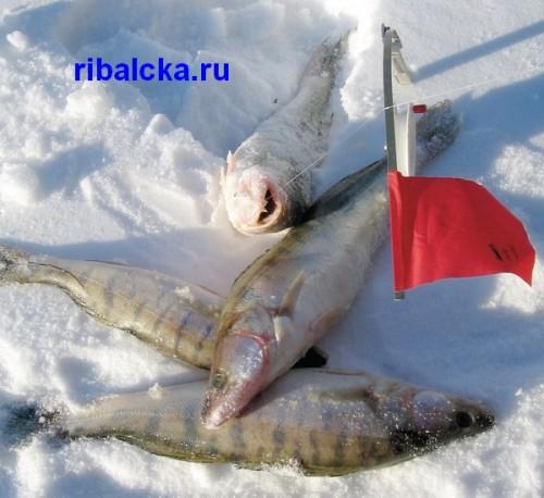 Ловля судака зимой на жерлицы, зимняя ловля судака на жерлицы