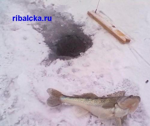 Зимняя ловля судака на жерлицы