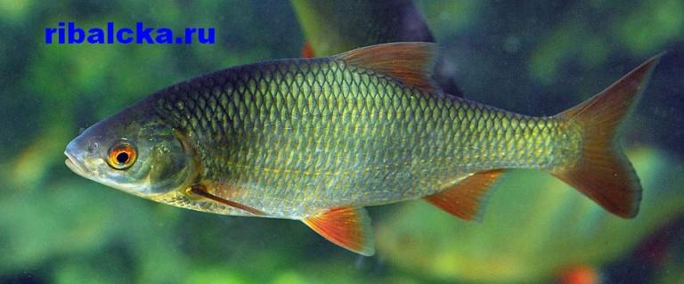 Пресноводная рыба плотва