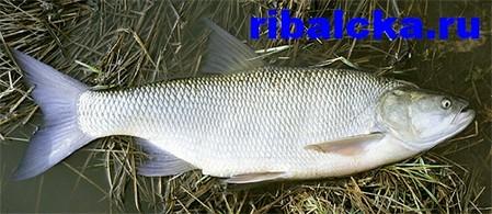 Пресноводная рыба жерех