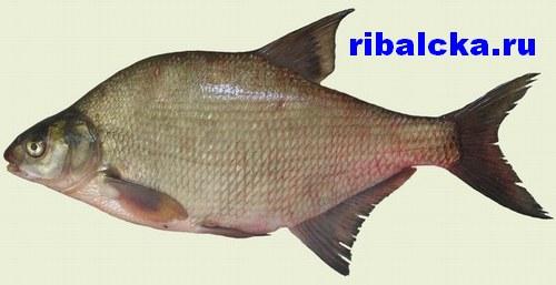 Рыба лещ, особенности поведения леща, анатомия, способы ловли, время нереста
