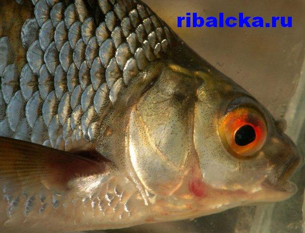 Рыба плотва, пресноводная рыба плотва