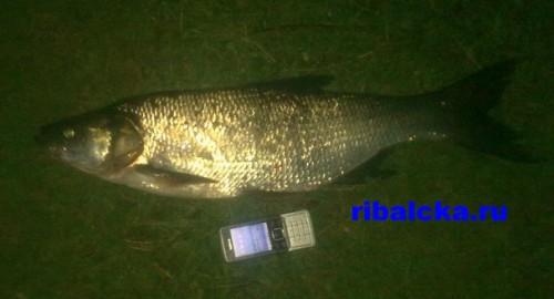 Рыба жерех на рыбинке