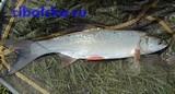Рыба жерех, пресноводная речная рыба жерех