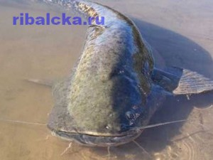 Сом обыкновенный. Пресноводные рыбы наших водоёмов. Европейский сом