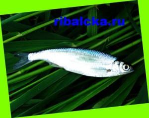 Рыба уклейка описание, ловля уклейки