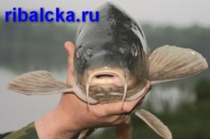 Карп, рыба карп